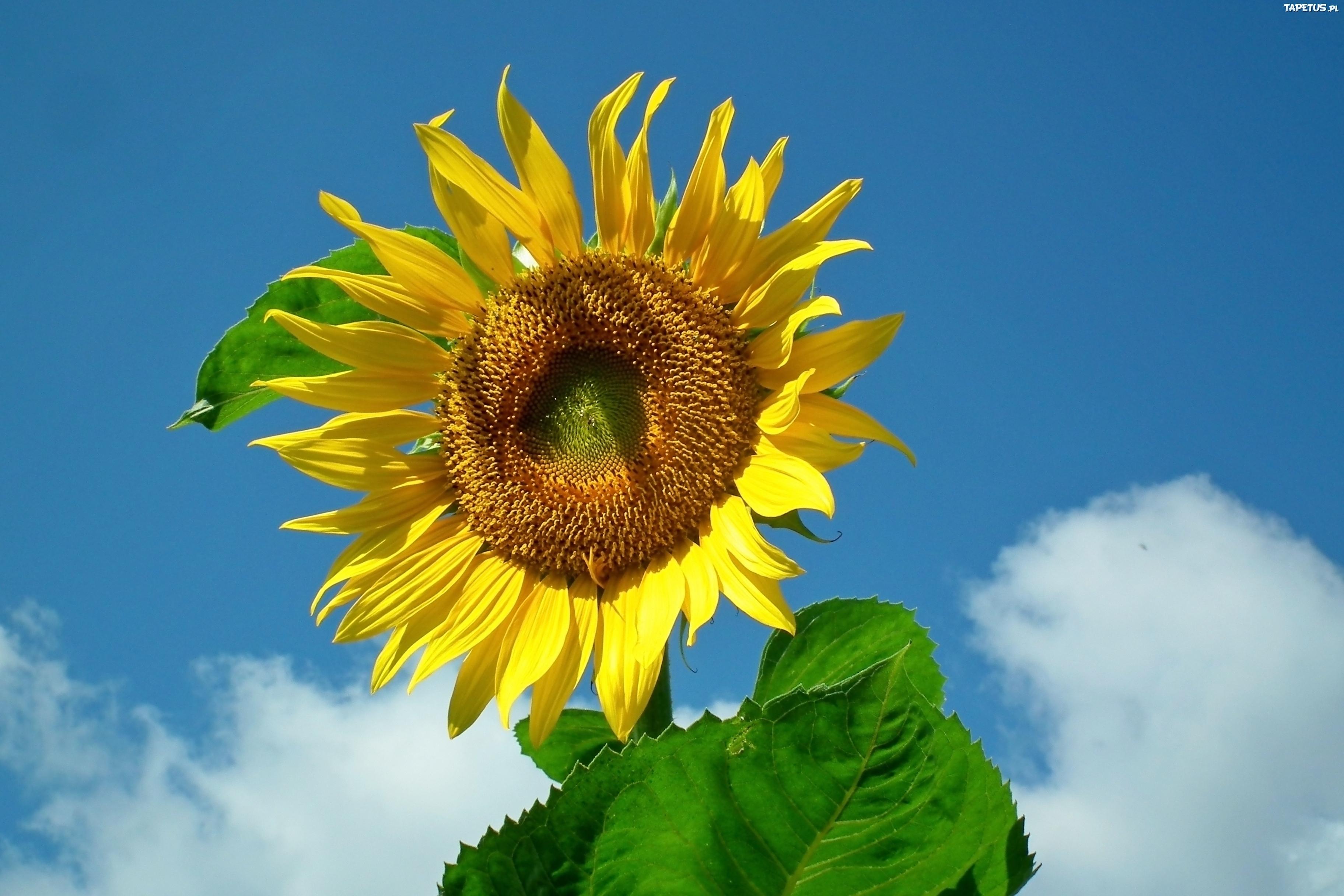 239448_przyroda-kwiat-slonecznik.jpg
