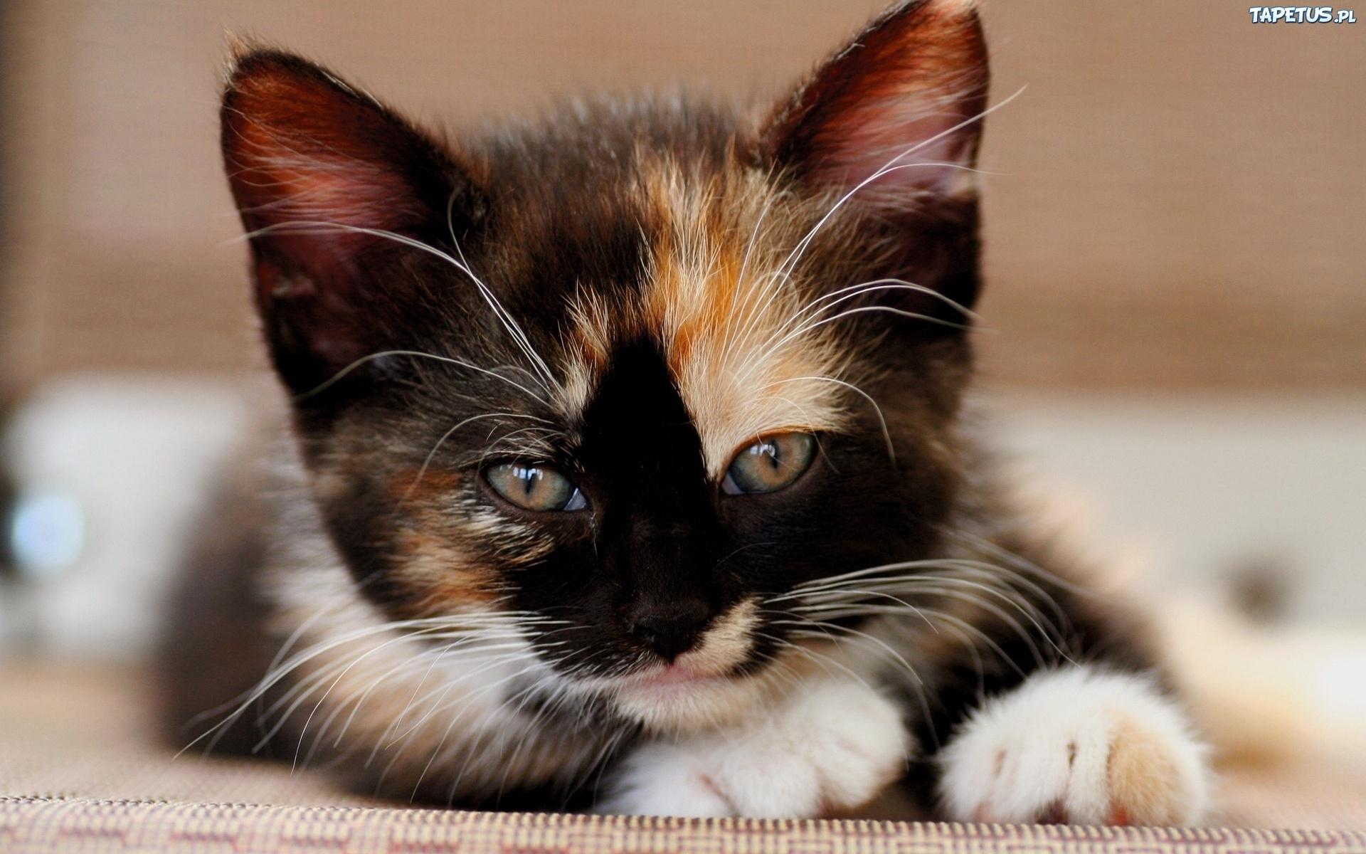 250381_lezacy-szylkretowy-kotek.jpg